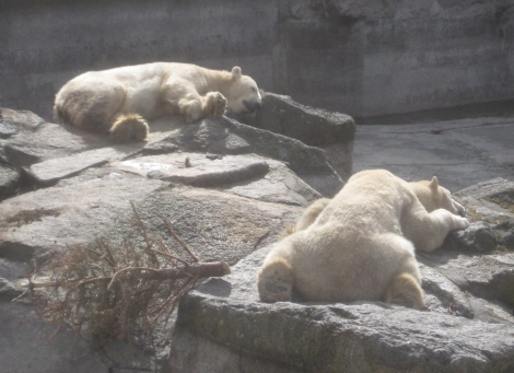 polar bears taking in a bit of sun